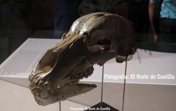Exposición en el Museo de la Evolución Humana