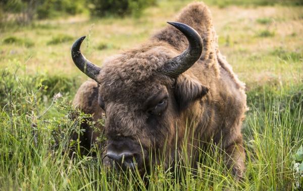 Bisonte en el entorno de Paleolitico Vivo